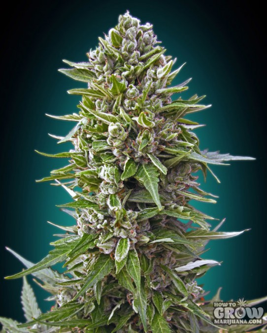 00 Seeds – Auto Northern Lights Feminized