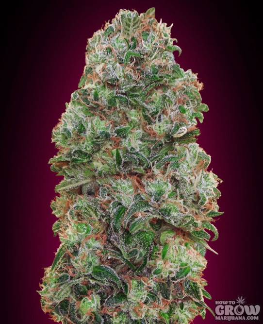 00 Seeds – Bubble Gum Feminized Seeds