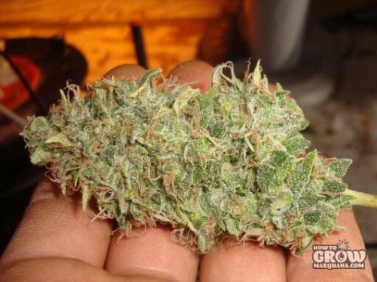 Sour Diesel Marijuana Seeds – History, Feminized, Auto-Flowering and Crosses