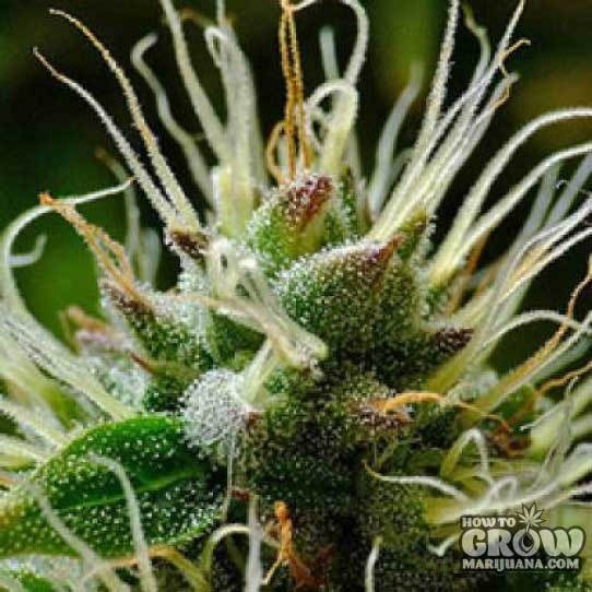 Big Buddha – Bubble Cheese Feminized Seeds