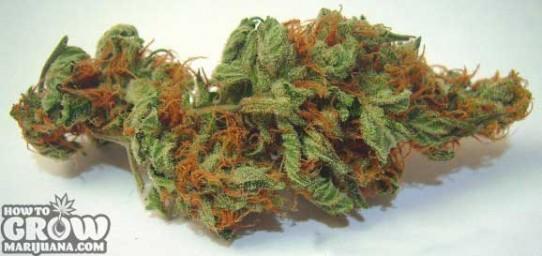 TGA Subcool – Agent Orange Seeds