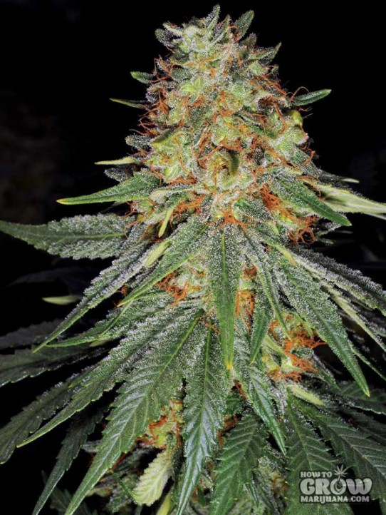 Sannies – Herijuana IBL Feminized Seeds