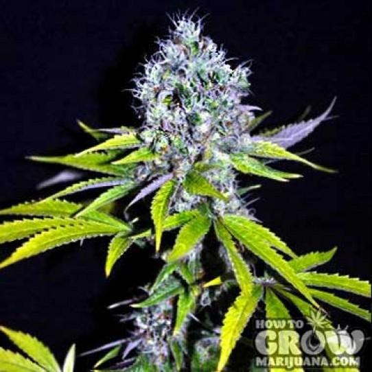 CBD Crew – CBD Yummy Seeds
