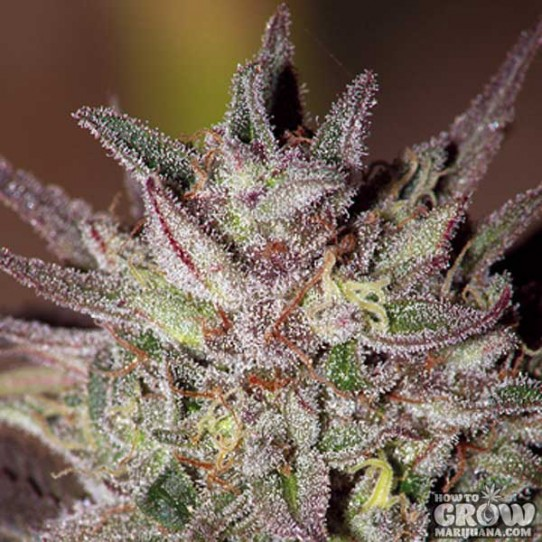 Barneys – CBD Critical Cure Seeds