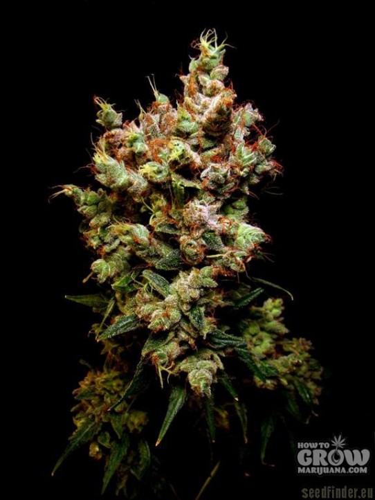 Dutch Passion Skywalker Feminized Seeds