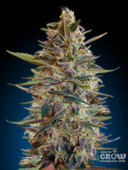 Advanced – Auto Blue Diesel Feminized Seeds