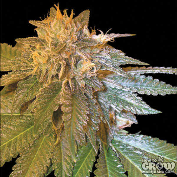 Dna Genetics L A Confidential Feminized Seeds