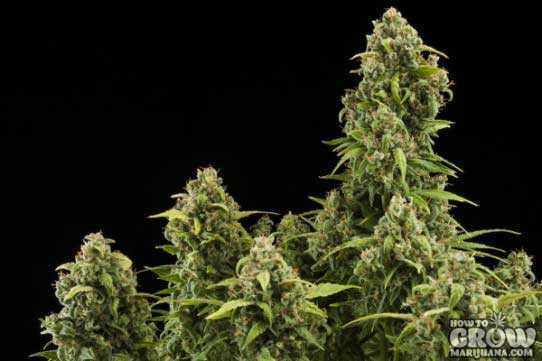 Royal Queen – Diesel Automatic Seeds