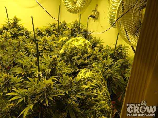 Heavyweight Green Ninja Feminized Marijuana Seeds