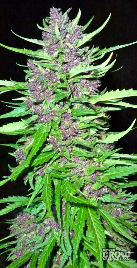 Sannies Killing Fields Feminized Seeds