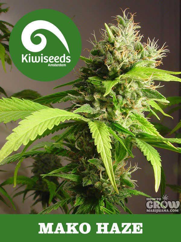 Kiwi Mako Haze Feminised Marijuana Seeds
