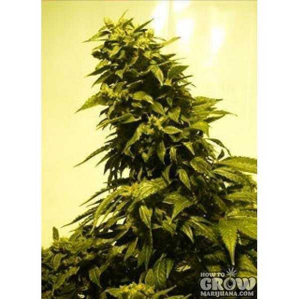 Lowlife - AK 47 Autoflowering Feminized Marijuana Seeds