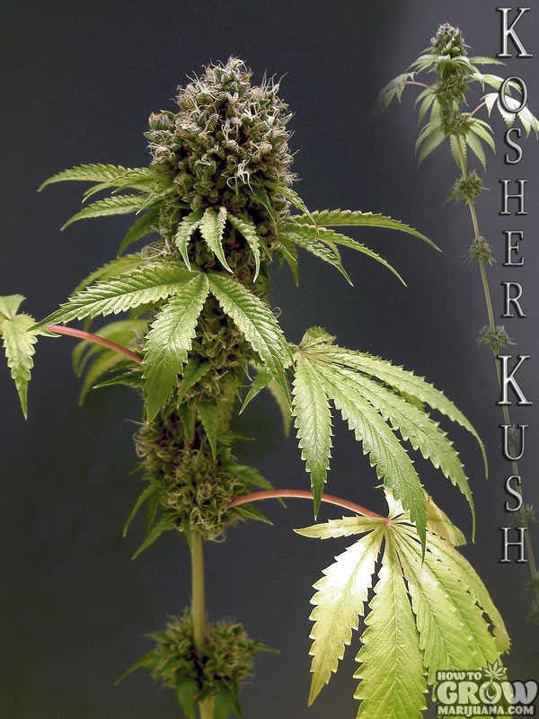 Reserva Privada Kosher Kush Feminised Seeds