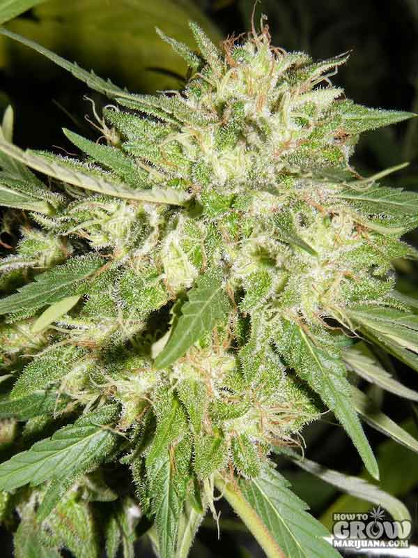 Sensi Big Bud Feminized Seeds