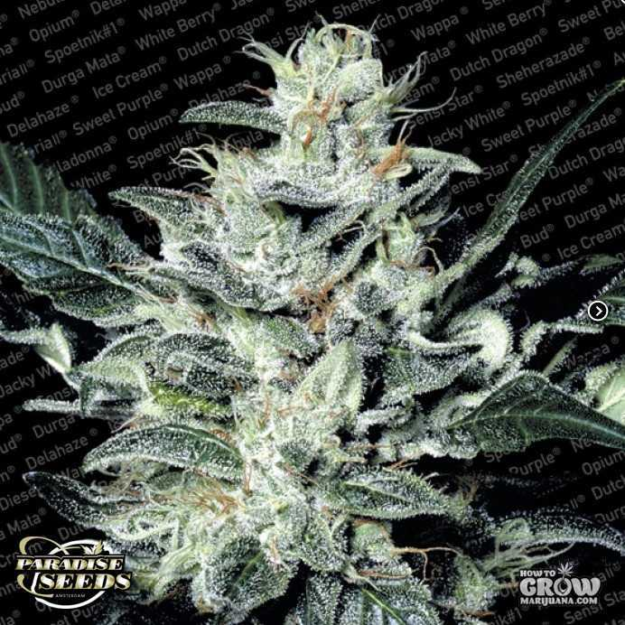 Paradise – Sensi Star Feminized Marijuana Seeds