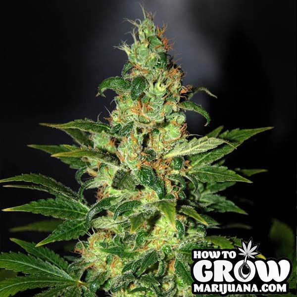 Auto flowering cannabis seeds