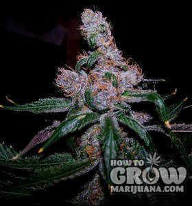 blue-weed-seeds