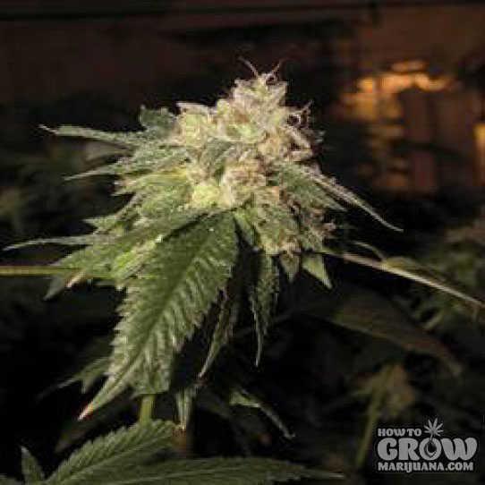 Reserva Privada Og Kush Feminized Marijuana Seeds