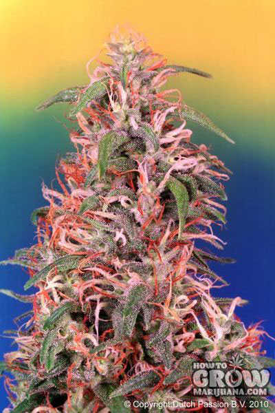 Dutch Passion Skunk Passion Feminized Seeds