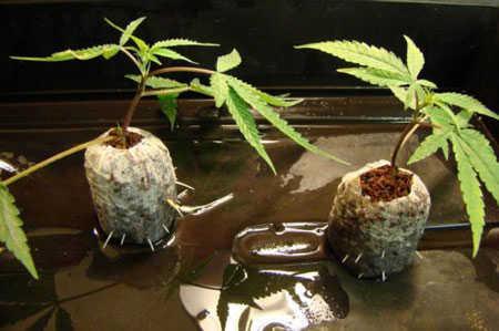 cannabis-clones