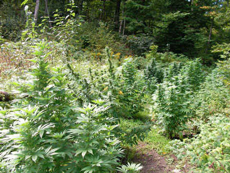 grow-marijuana-outdoors