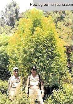 huge-outdoor-marijuana-tree