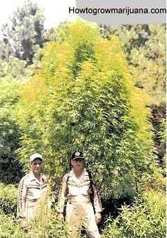huge-outdoor-marijuana-tree