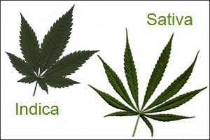 indica-vs-sativa-grow-marijuana-outdoors