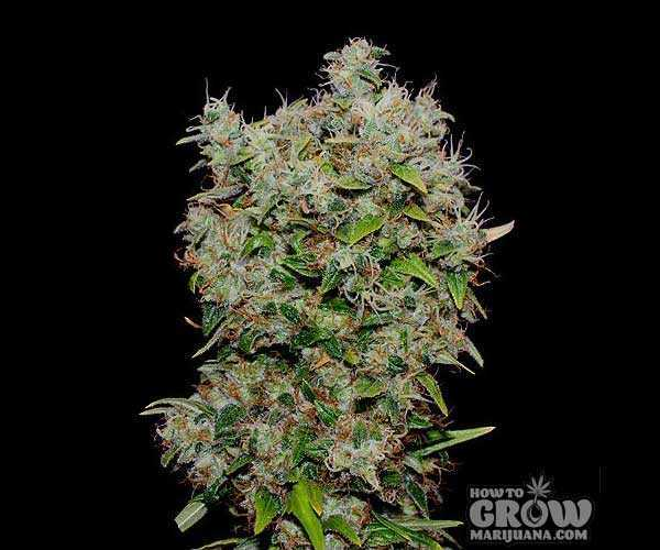 Marijuana Strains New York City Diesel Seeds