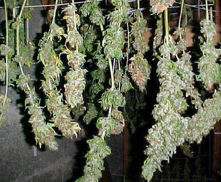 Drying your Marijuana