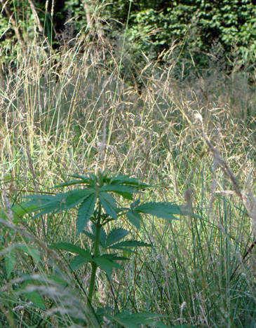 Outdoor Marijuana Visits