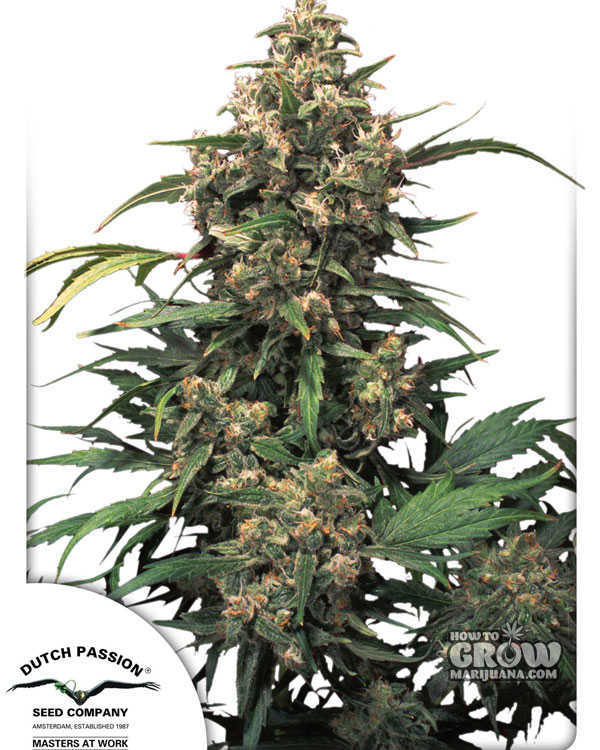 Dutch Passion Strawberry Cough Marijuana Seeds