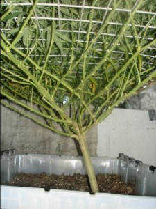 As the screen fills and a canopy develops the space beneath the canopy becomes shaded and can be susceptible to mould. Trim back all growth beneath the ... & Screen of Green (SCOG) Growing Marijuana