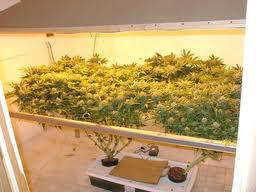 Screen Of Green Scog Growing Marijuana
