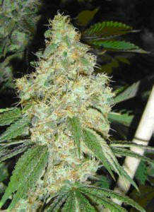 trainwreck-weed-seeds-HowToGrowMarijuana-com-218x300 jpgTrain Wreck Weed Plant