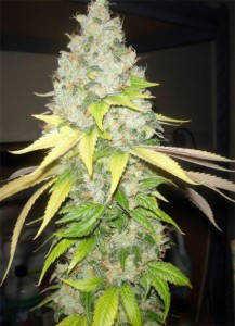 Dutch Passion Strawberry Cough Marijuana Seeds