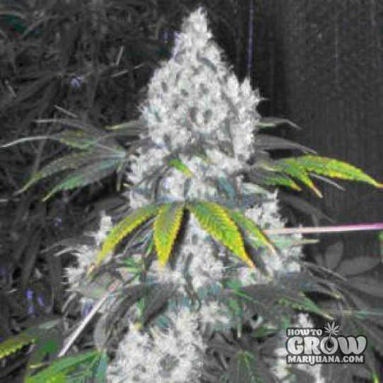 Nirvana Blue Mystic Autoflowering Feminized Seeds