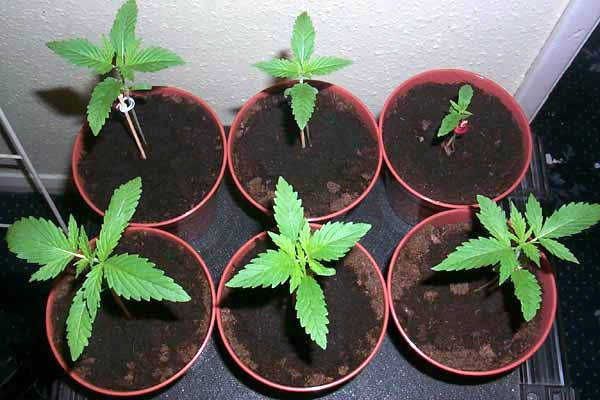 Marijuana Seedlings