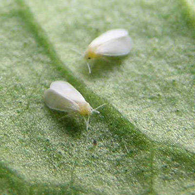 Marijuana Pests and Diseases