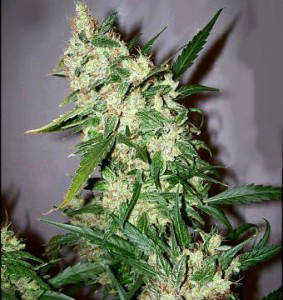 Pink-Floyd-Marijuana-Strain-F1 Hybrid