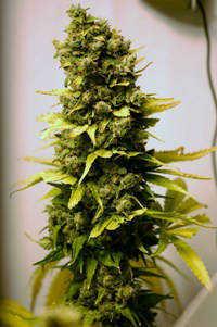 How Marijuana Strains are Bred