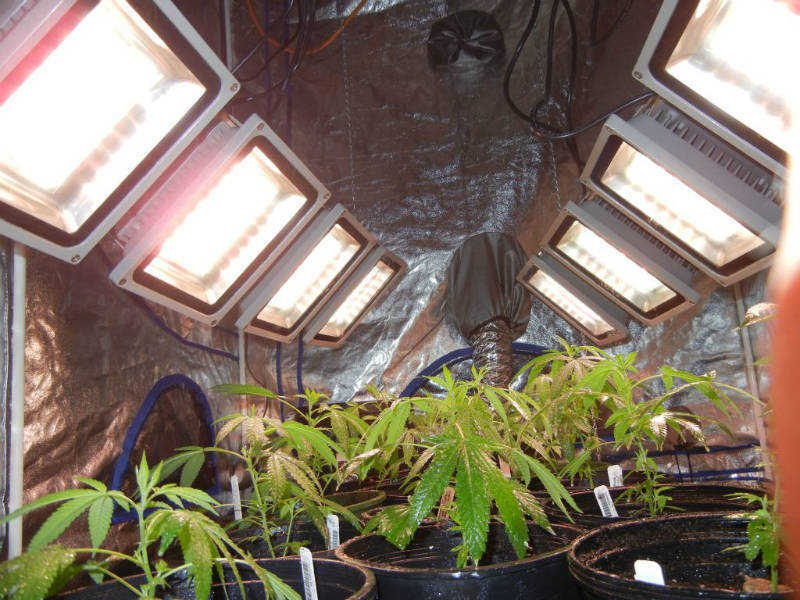 Super Grow Led Beginners Grow Diary Using Halo Sgl6 Lights