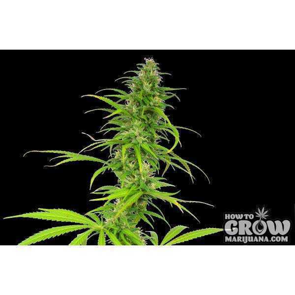 Seedsman – California Skunk Haze Seeds