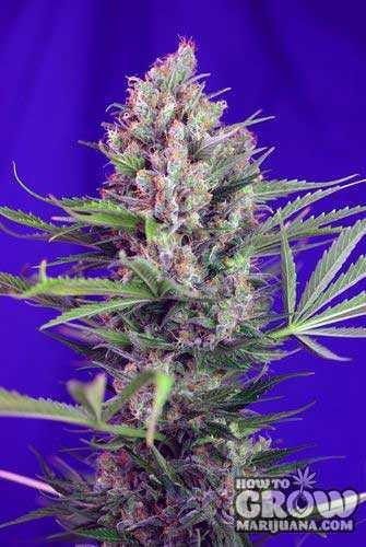 Sweet Cream Mandarine Autoflowering Feminized Seeds