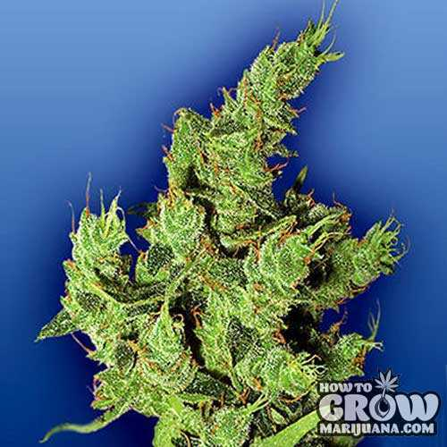 Flying Dutchmen – Amsterdam Mist Feminized Seeds