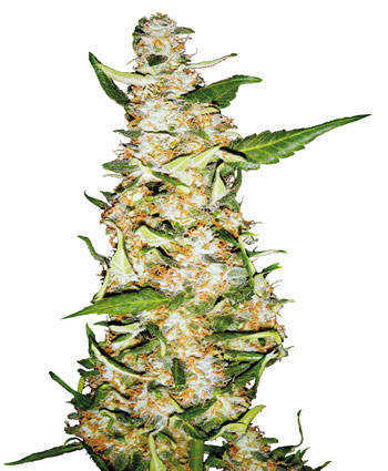Automatic cannabis plant
