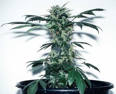 Lowryder autoflowering cannabis