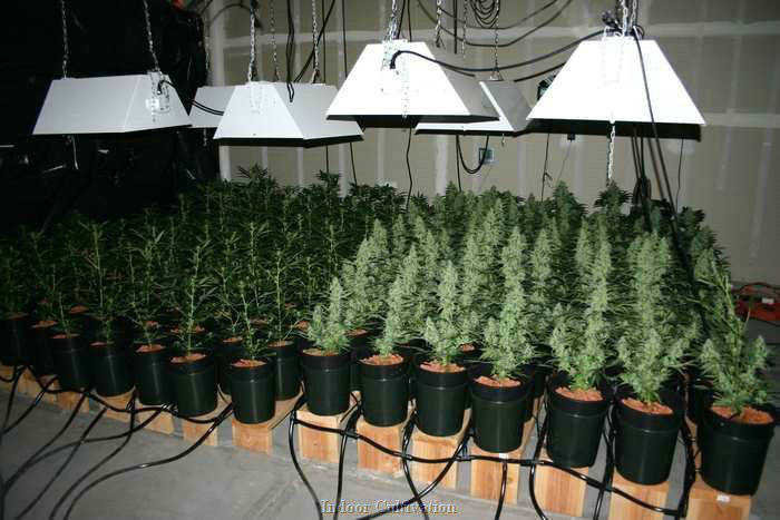 SOG setup autoflowering cannabis