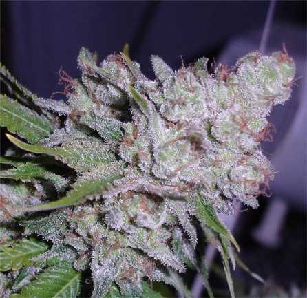 white-berry-cannabis-seeds
