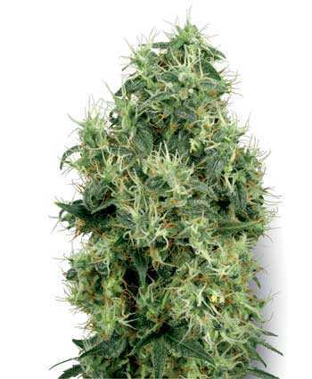 white-gold-cannabis-seeds